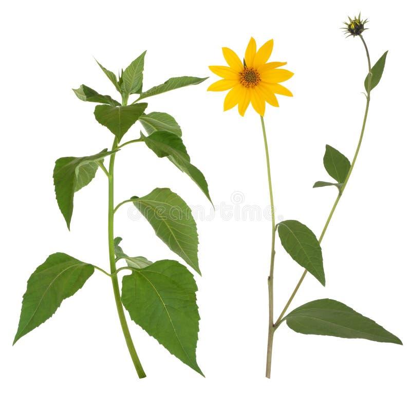 Fiore e fogli del topinambur fotografie stock
