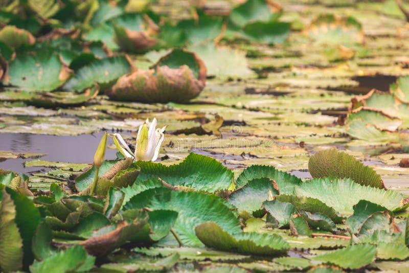 Fiore e foglie di loto bianco appassito in uno stagno con luce solare gialla fotografie stock libere da diritti