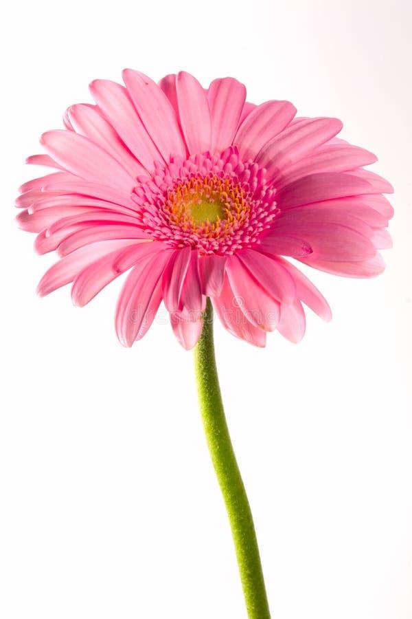 Fiore e gocce fotografie stock libere da diritti