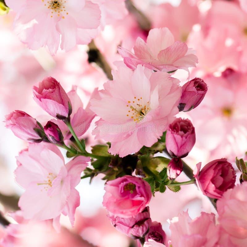 Fiore e petali di ciliegia rosa giapponese fotografia stock