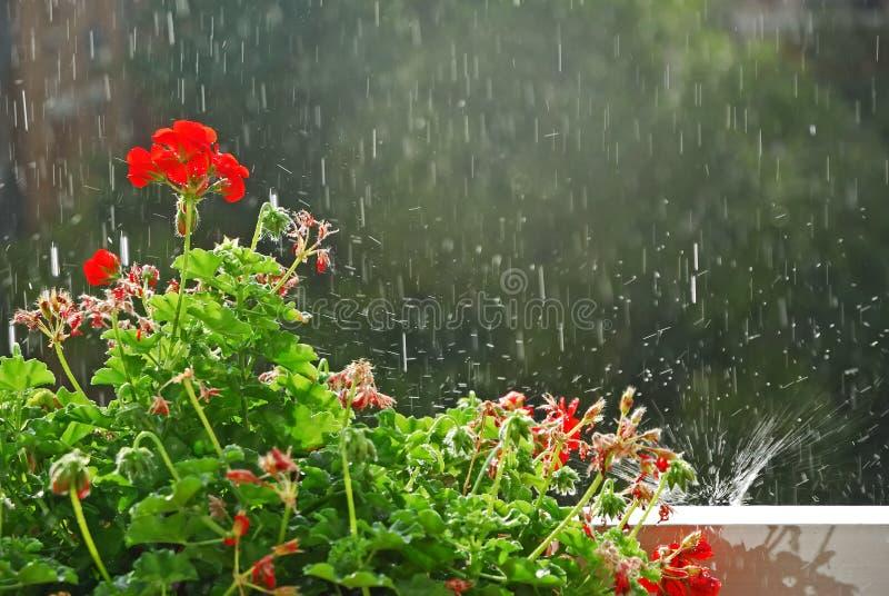 Fiore e pioggia fotografia stock libera da diritti