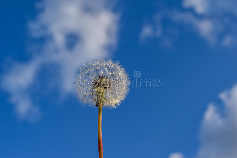 Fiore e semi del dente di leone contro il fondo del cielo fotografia stock libera da diritti