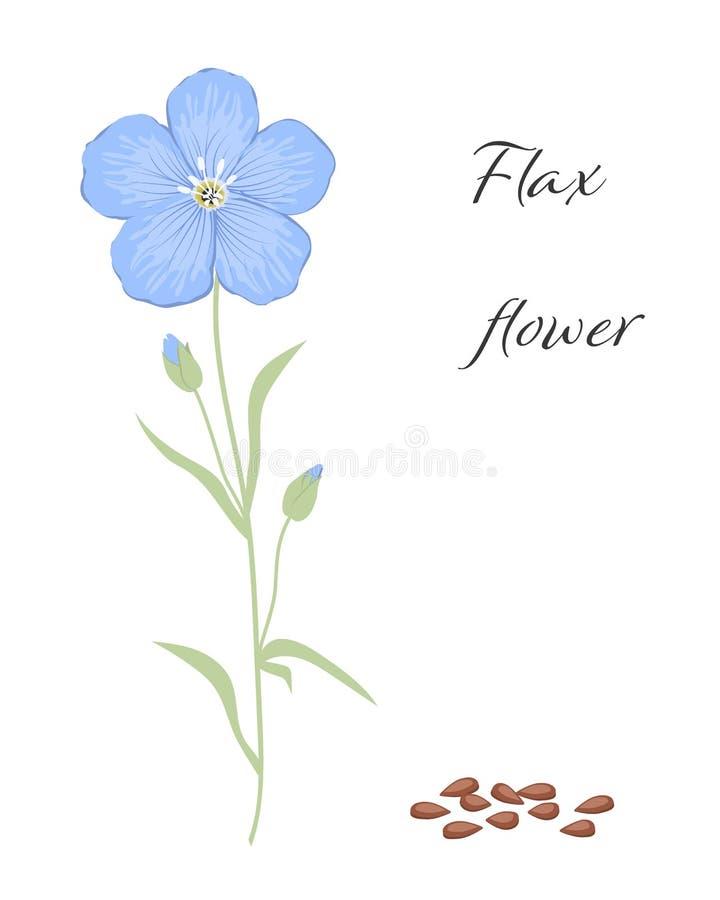 Fiore e semi del lino, isolati su un fondo bianco royalty illustrazione gratis