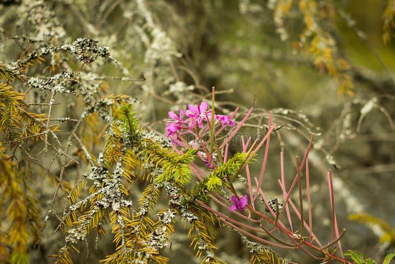 Fiore ed abete rosso fotografie stock libere da diritti