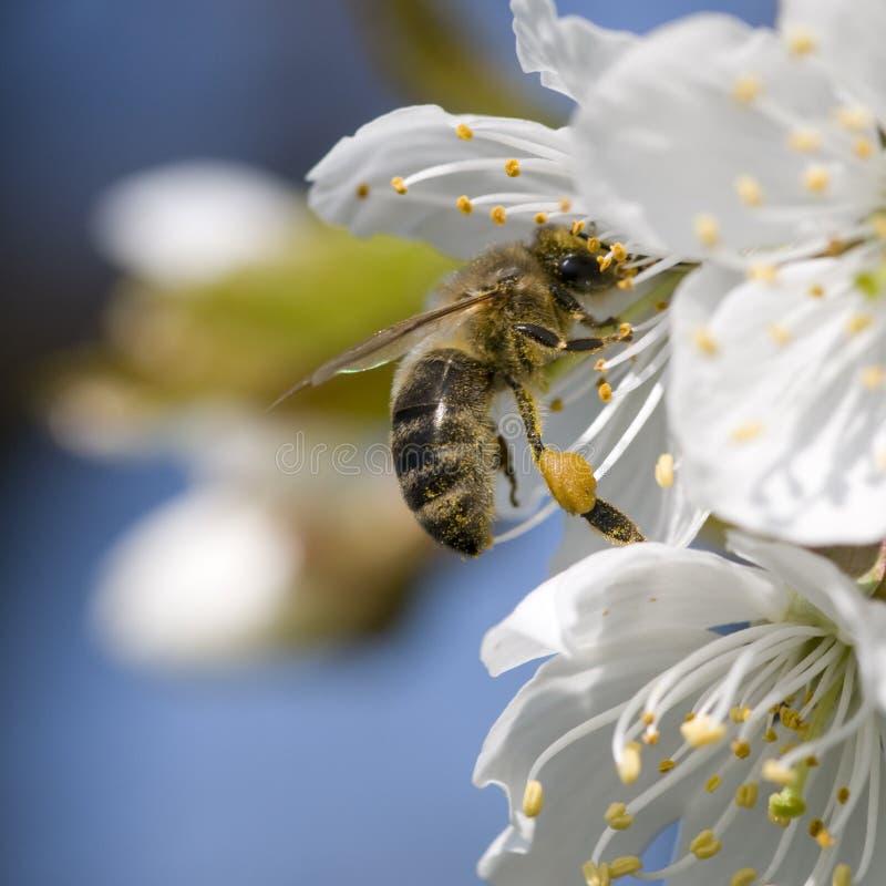 Fiore ed ape fotografia stock libera da diritti
