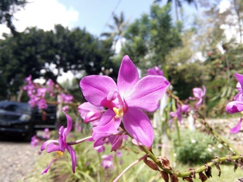 Fiore ed automobile rosa fotografie stock libere da diritti