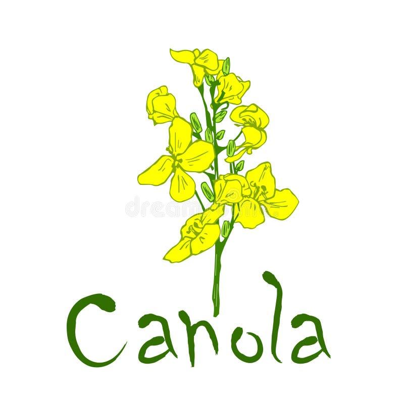Fiore ed iscrizione della pianta del Canola royalty illustrazione gratis