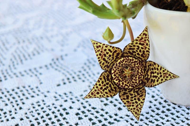 Fiore esotico del cactus del rospo immagini stock