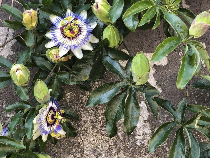 Fiore esotico di passione sulla parete fotografia stock