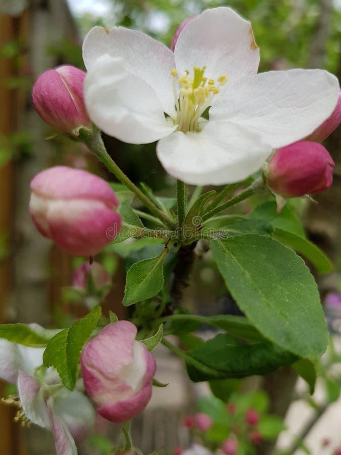 Fiore, fiore, pianta, Rosa Canina fotografia stock libera da diritti
