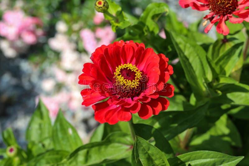 Fiore - fiori variopinti di zinnia che fioriscono nel giardino fotografie stock