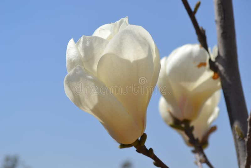 Fiore fiorito rosa della magnolia fotografia stock libera da diritti