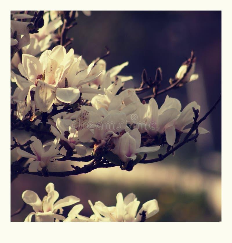 Fiore fiorito rosa della magnolia Dettaglio dello stellata della magnolia fotografie stock