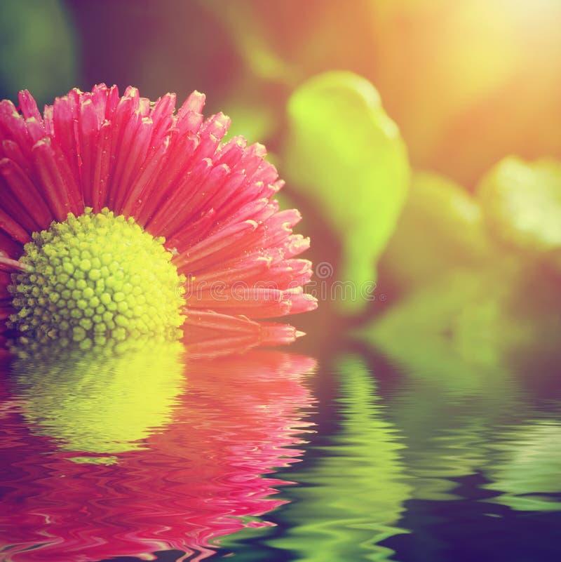 Fiore fresco della margherita della molla in acqua Natura, stazione termale, zen fotografia stock libera da diritti