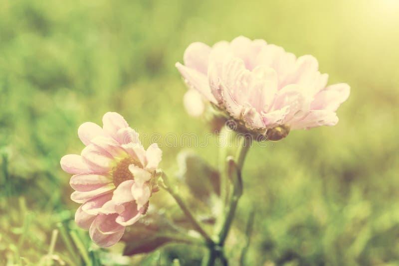 Fiore fresco della molla alla luce del sole annata fotografie stock libere da diritti