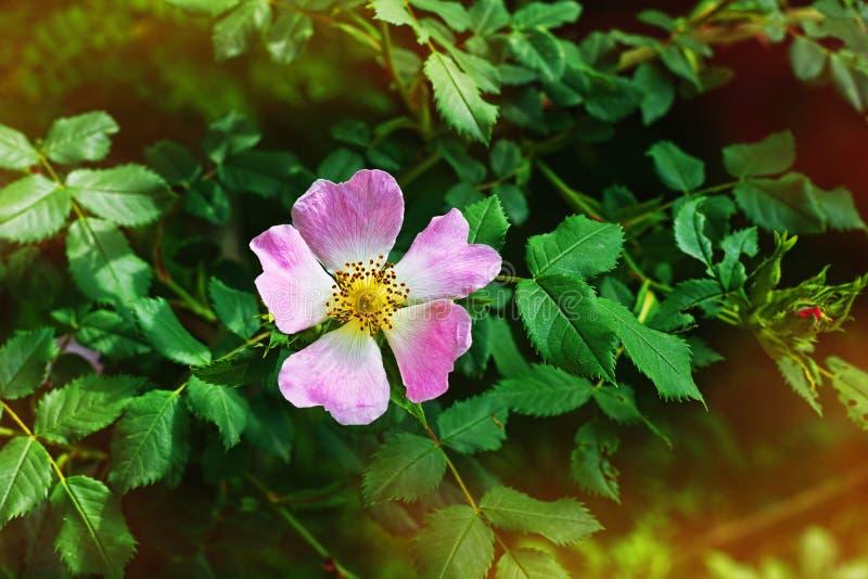 Fiore fresco della rosa canina fotografia stock