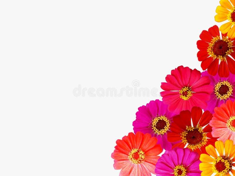 Fiore fresco di zinnia isolato su fondo bianco fotografie stock