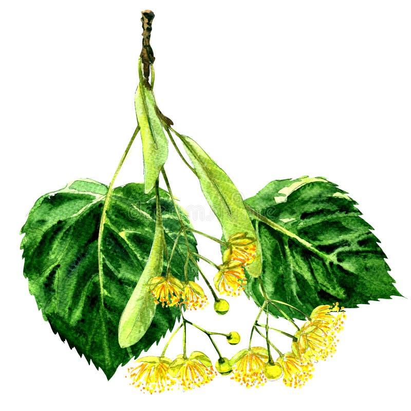 Fiore fresco e foglia del ramo del tiglio isolati, illustrazione dell'acquerello illustrazione vettoriale