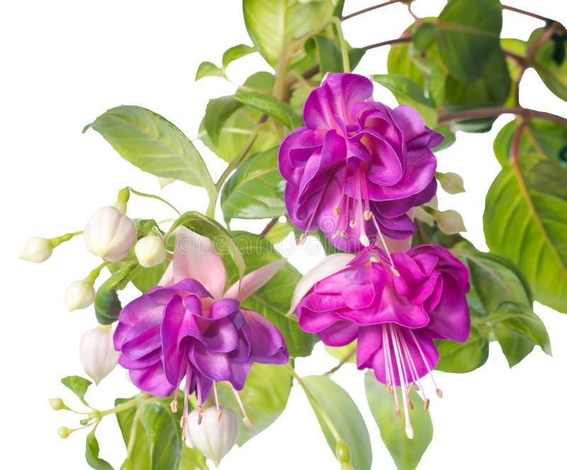 Fiore fucsia lilla isolato su fondo bianco, Heydon immagini stock libere da diritti