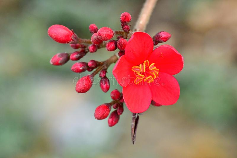 Fiore generoso o colore rosso sugli alberi a tempo di molla nei giardini fotografie stock libere da diritti