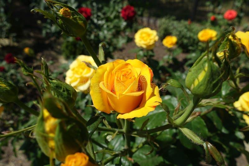 Fiore giallo ambrato vibrante della rosa fotografia stock libera da diritti