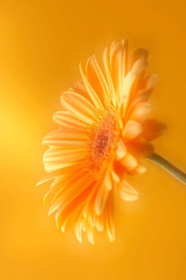Fiore giallo arancione del gerbera fotografie stock libere da diritti