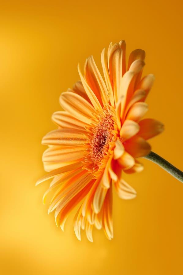 Fiore giallo arancione del gerbera fotografia stock libera da diritti