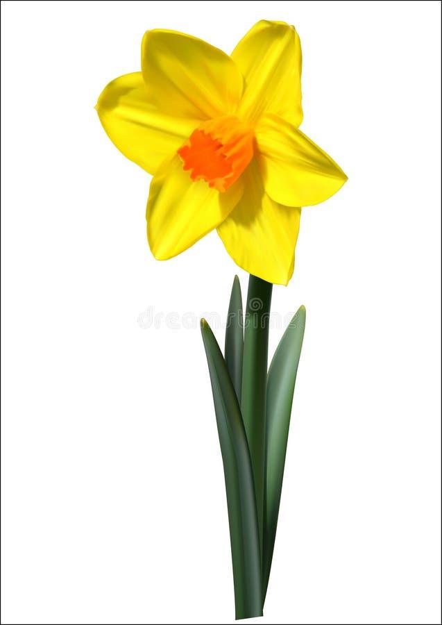 Fiore giallo arancione del narciso illustrazione di stock for Narciso giallo