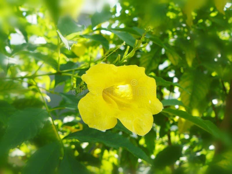 fiore giallo Cat& x27; artiglio di s fotografie stock libere da diritti
