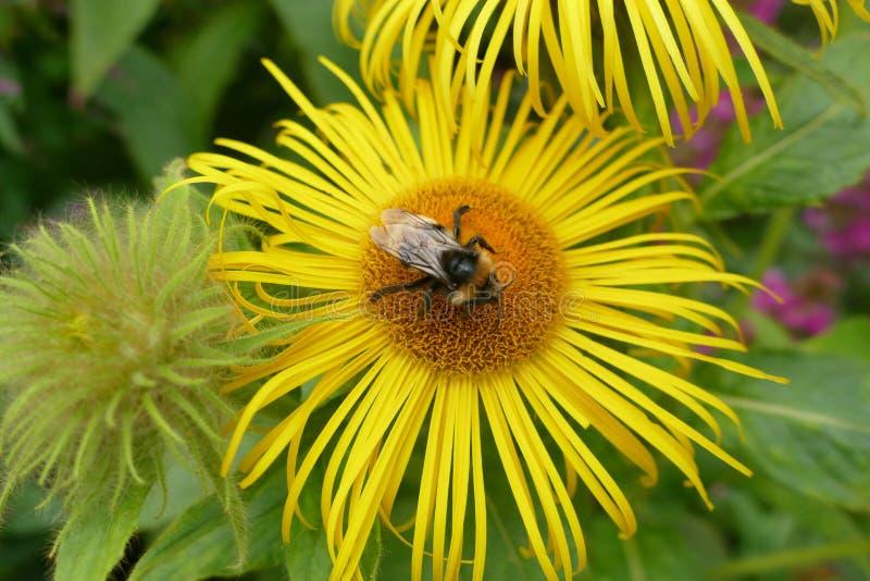 Fiore giallo con l'ape fotografia stock