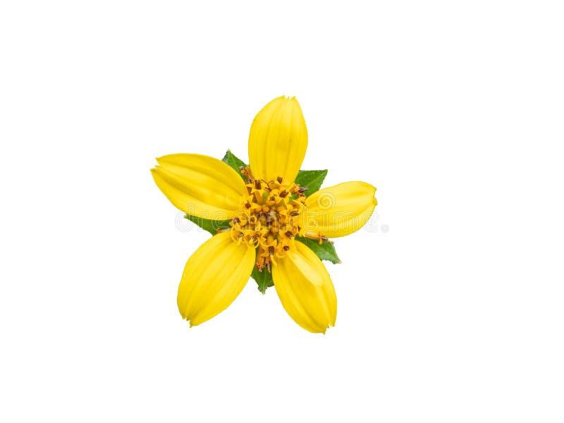 Fiore giallo con le foglie verdi isolate su fondo bianco immagini stock