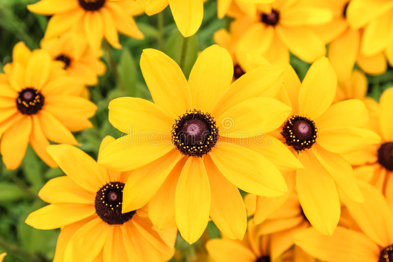 Fiore giallo del cono del fiore di rudbeckia, fine sulla foto immagine stock libera da diritti