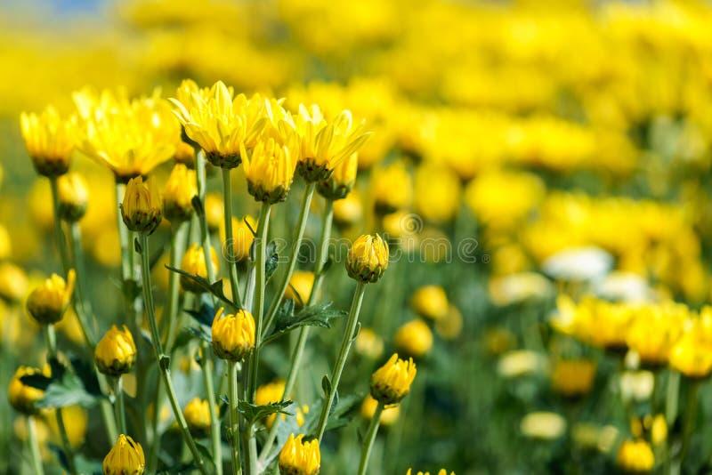Fiore giallo del crisantemo (chrysanthemum morifolium) fotografie stock libere da diritti