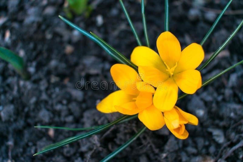 Fiore giallo del croco immagine stock libera da diritti