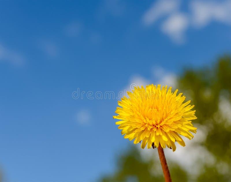 Fiore giallo del dente di leone contro il cielo blu fotografia stock