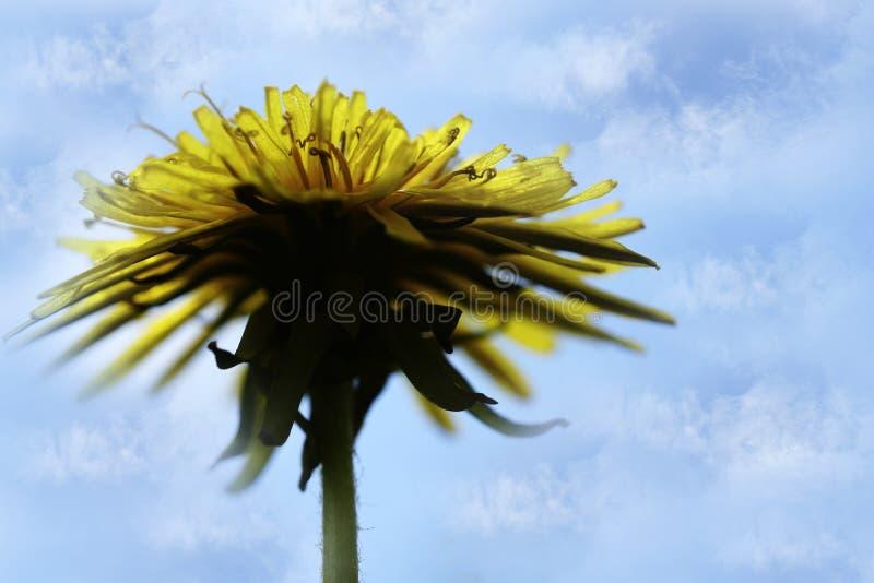 Fiore giallo del dente di leone contro il cielo blu Priorità bassa della sorgente Per il disegno Vista laterale fotografia stock