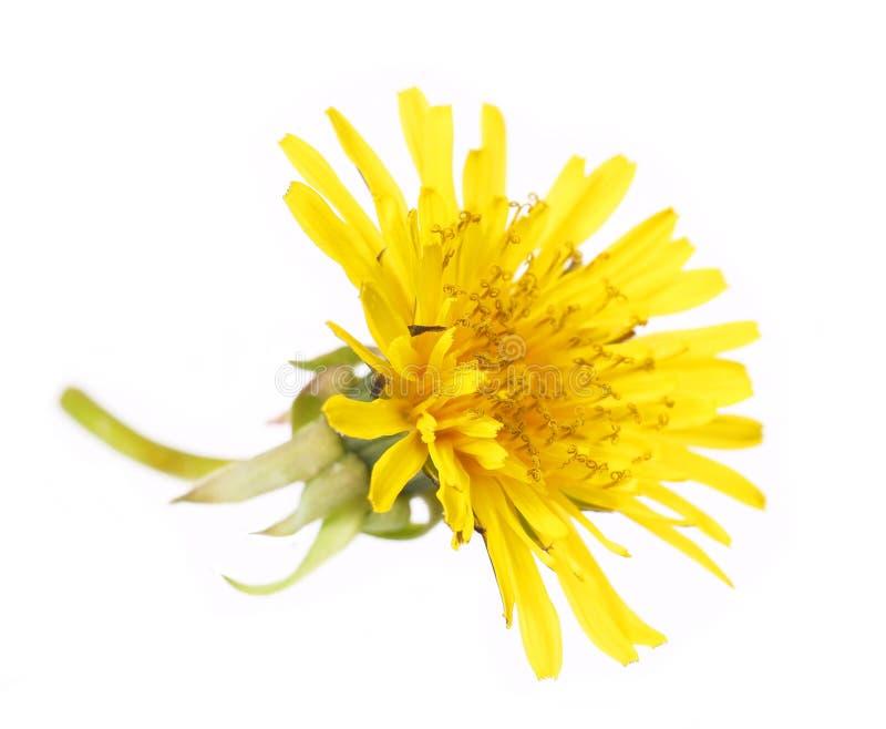 Fiore giallo del dente di leone isolato su bianco. Taraxacum officinale. fotografia stock libera da diritti