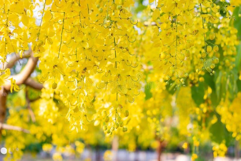 Fiore giallo del fuoco selettivo della provincia, Songkran della Tailandia, cassia fistula, albero di doccia dorata fotografia stock