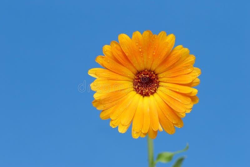 Fiore giallo del gerber contro l'azzurro fotografia stock libera da diritti