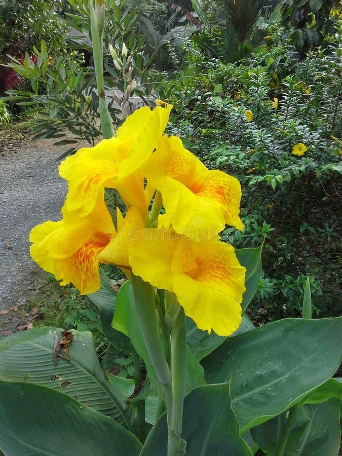 Fiore giallo del giglio di Canna sull'albero fotografie stock