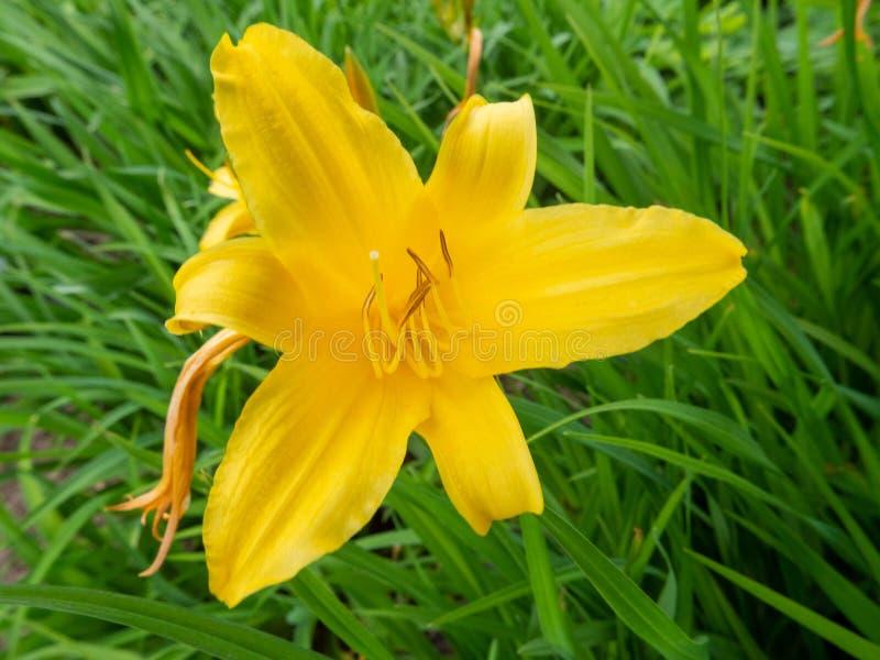 Fiore giallo del giglio nel giardino fotografie stock