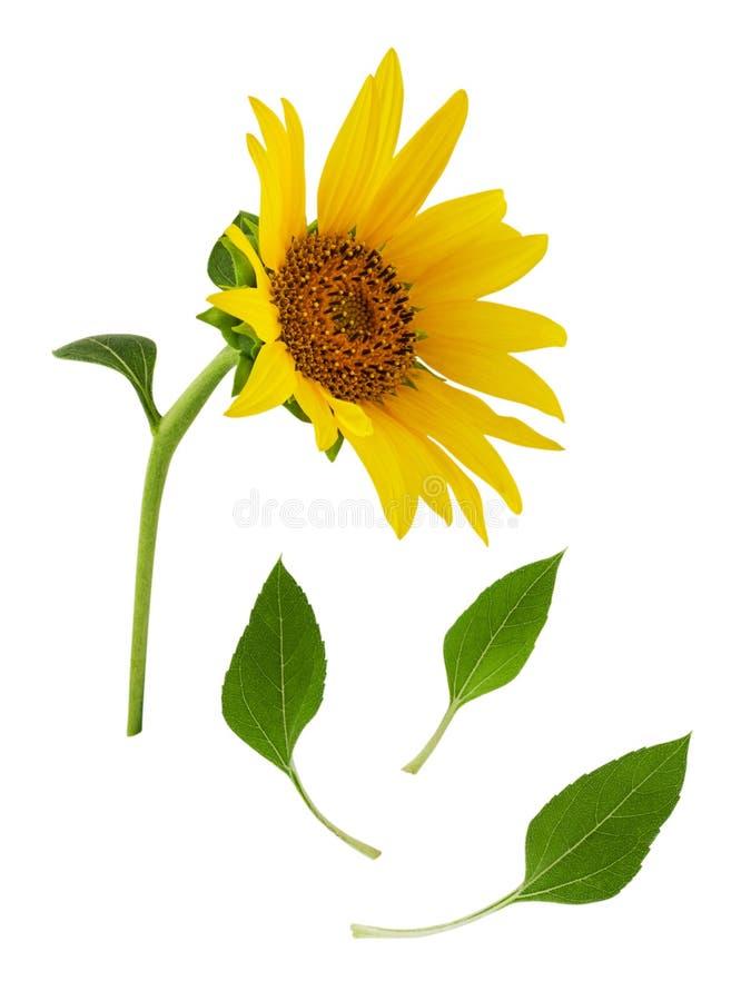 Fiore giallo del girasole sul gambo con le foglie verdi isolate su fondo bianco fotografia stock