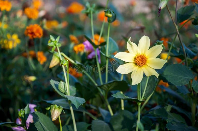 Fiore giallo del primo piano (japonica dell'anemone) fotografie stock libere da diritti