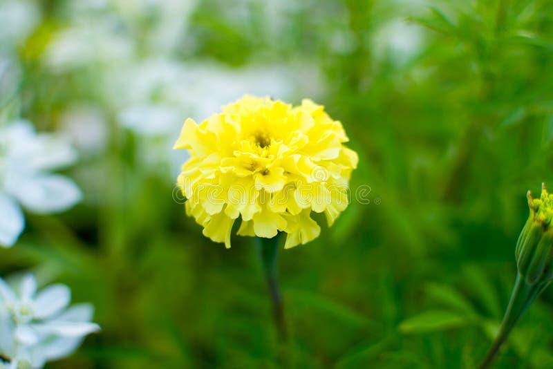 Fiore giallo del tagete bello fiore luminoso un giorno soleggiato su un letto di fiore fotografie stock