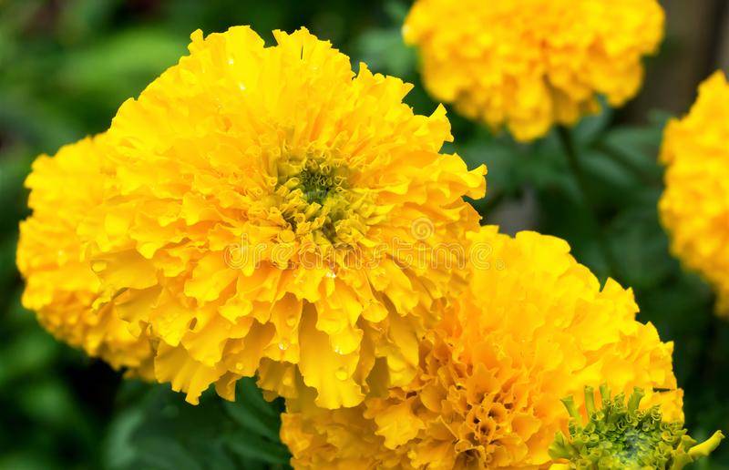Fiore giallo del tagete & x28; Erecta di tagetes, tagete messicano, Azteco fotografie stock