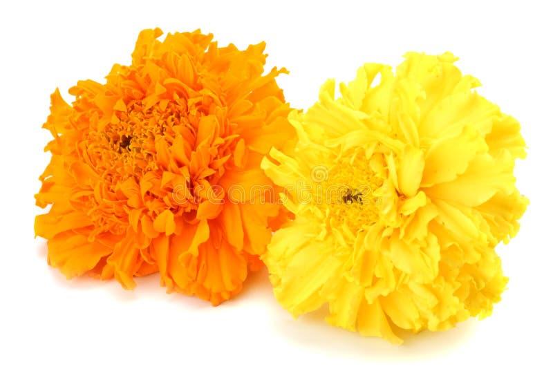 fiore giallo del tagete, erecta di tagetes, tagete messicano, tagete azteco, tagete africano isolato su fondo bianco fotografia stock libera da diritti