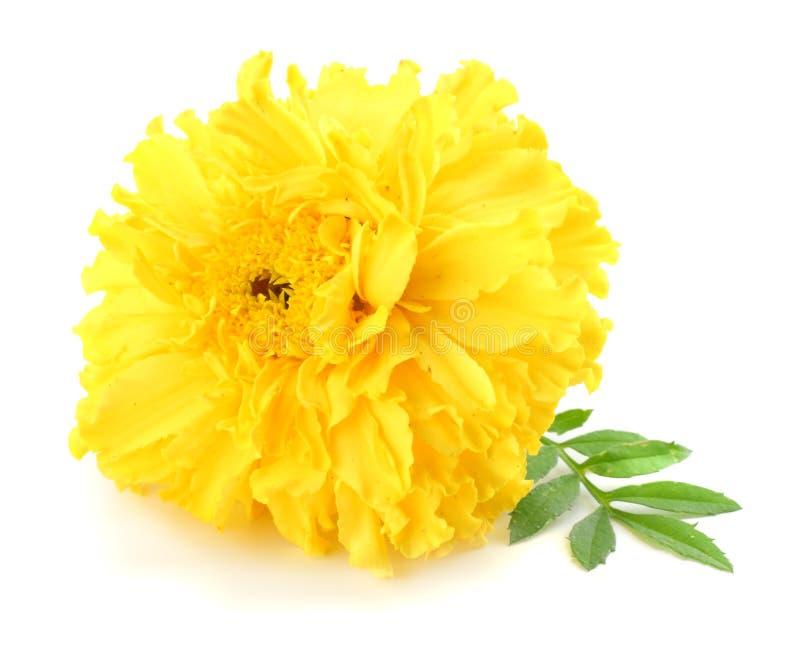 fiore giallo del tagete, erecta di tagetes, tagete messicano, tagete azteco, tagete africano isolato su fondo bianco immagine stock libera da diritti