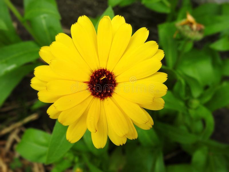Fiore giallo del tagete in giardino, Lituania immagine stock libera da diritti