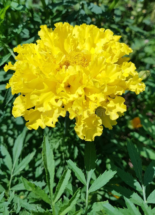 Fiore giallo del tagete sull'erba verde immagini stock libere da diritti