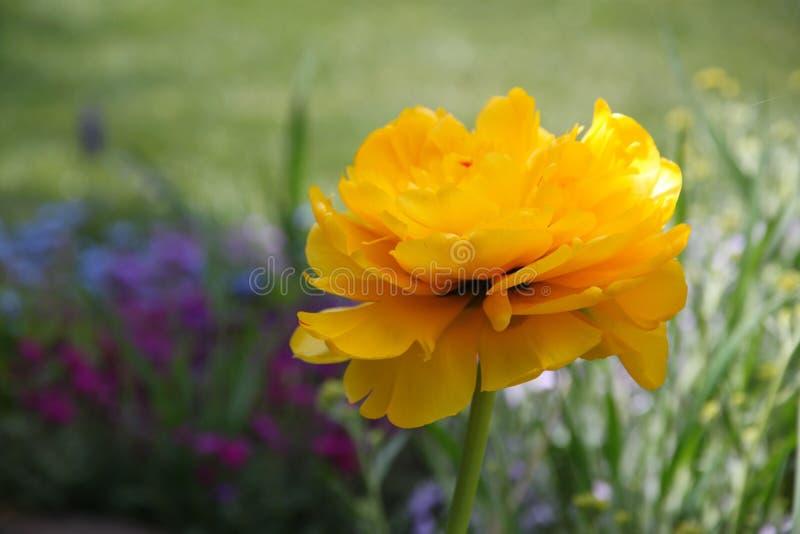 Fiore giallo del tulipano nel giardino fotografie stock libere da diritti